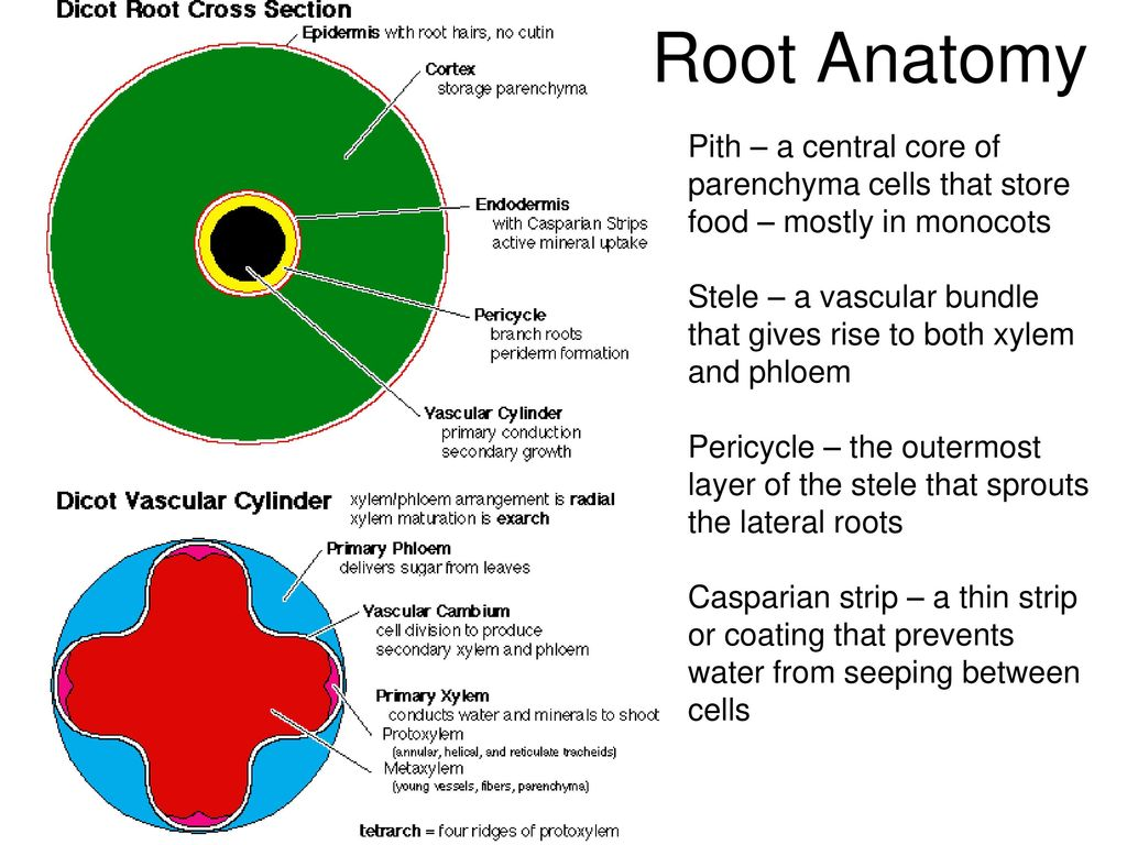 PLANT FORM AND FUNCTION - ppt download