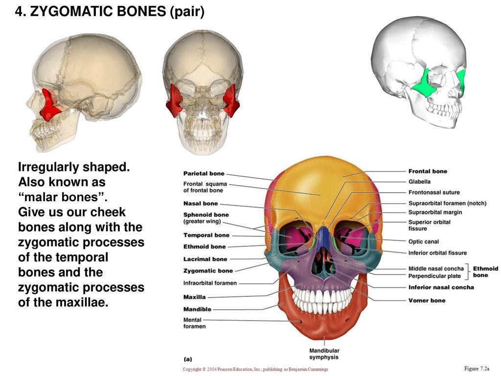 Temporal Bones Anatomy Choice Image Human Body Anatomy