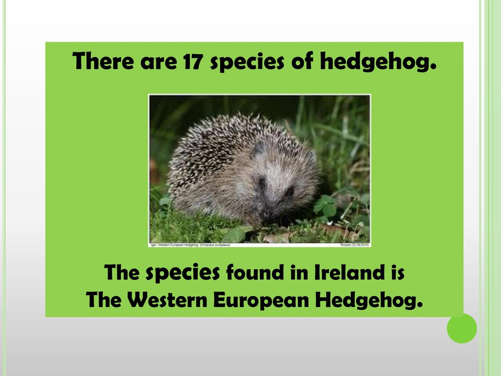 There are 17 species of hedgehog.