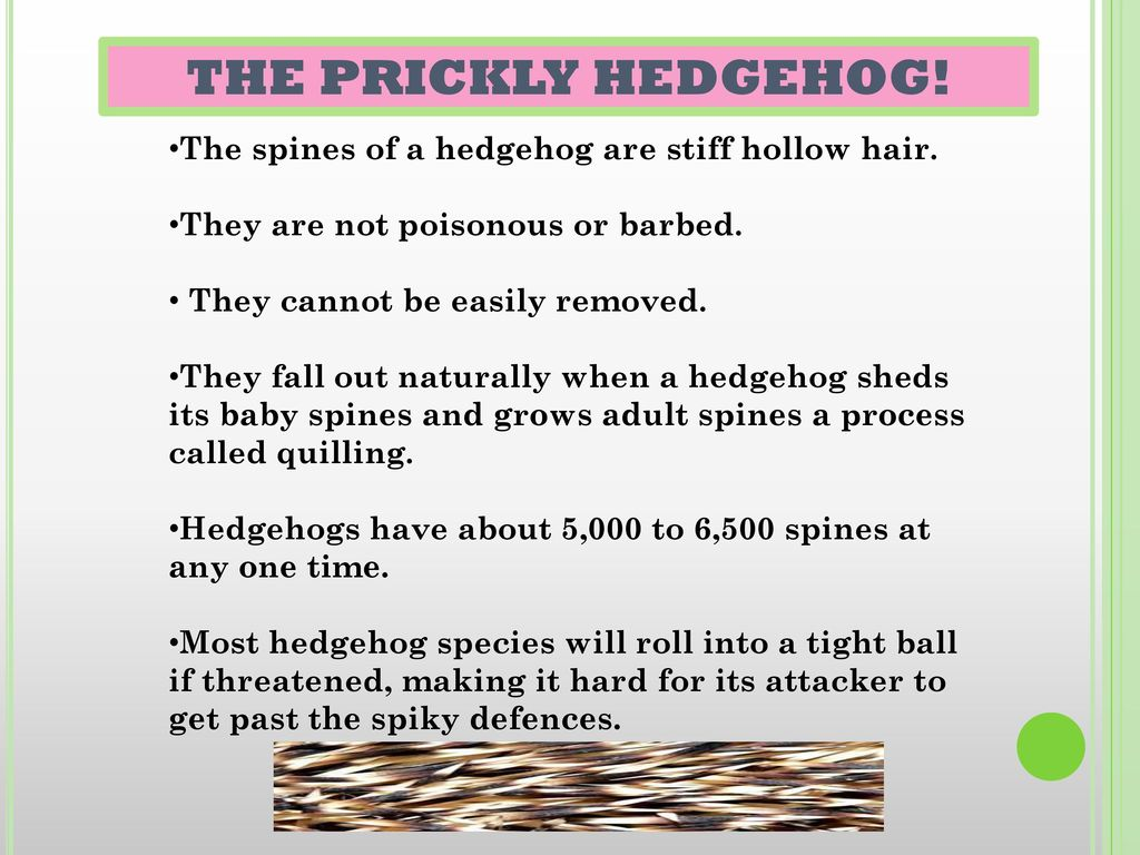 THE PRICKLY HEDGEHOG! The spines of a hedgehog are stiff hollow hair.