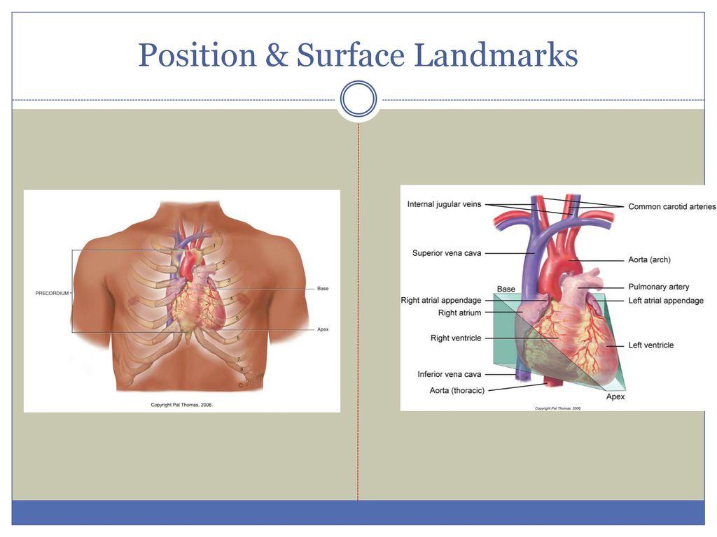 Heart & Neck Vessels Chapter 19 - Jarvis. - ppt download