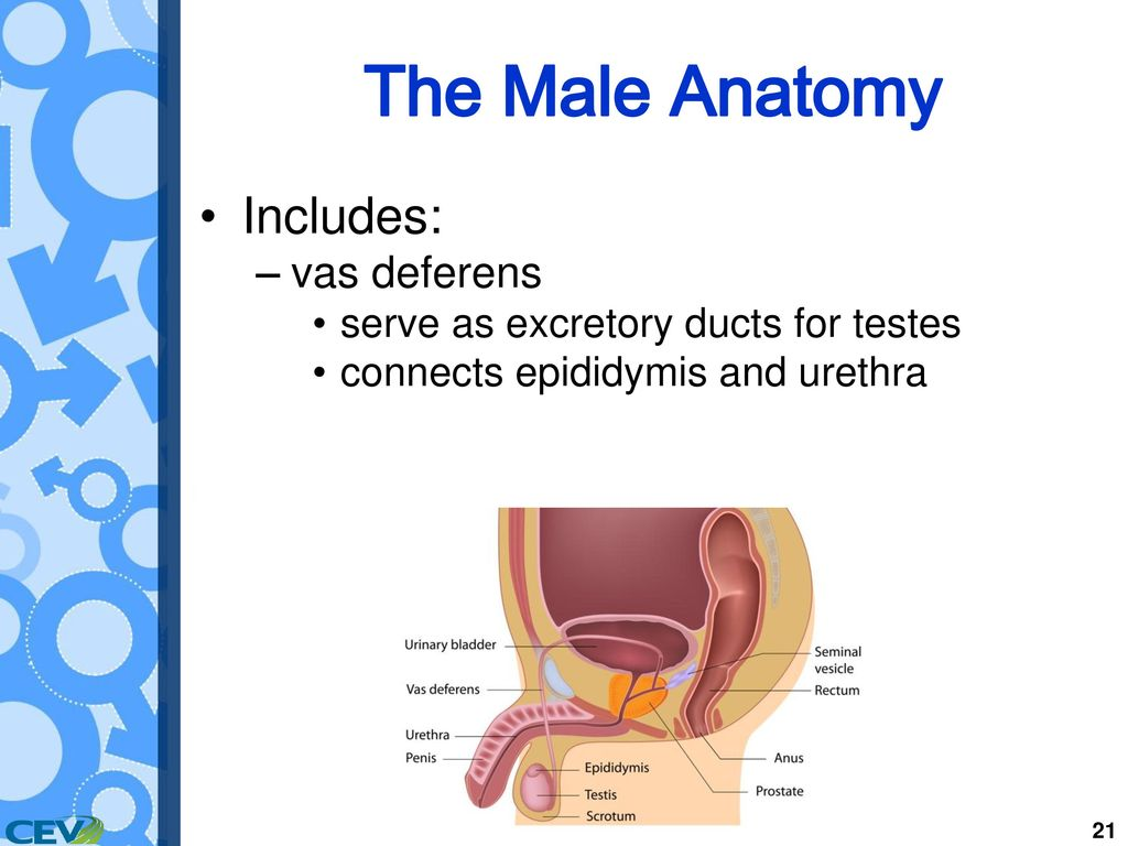 Objectives To Identify The Structures And Functions Of Male Anatomy