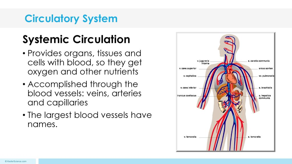 The Circulatory System - ppt download