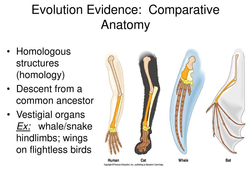 Niedlich Evidence Of Evolution Comparative Anatomy Bilder