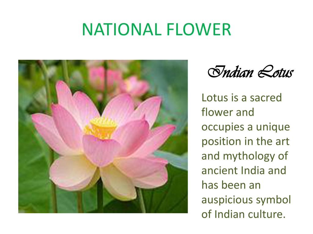 When Was Lotus Adopted As National Flower Of India Flowers Healthy