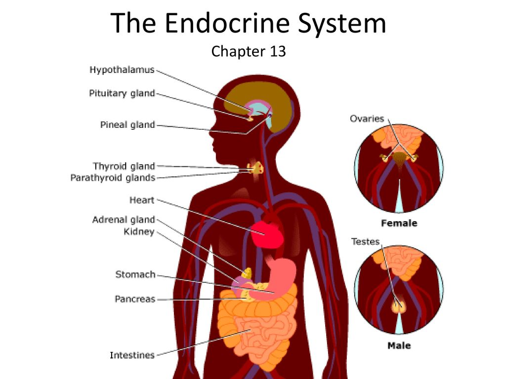 The endocrine system chapter ppt download 1 the endocrine system chapter 13 ccuart Image collections