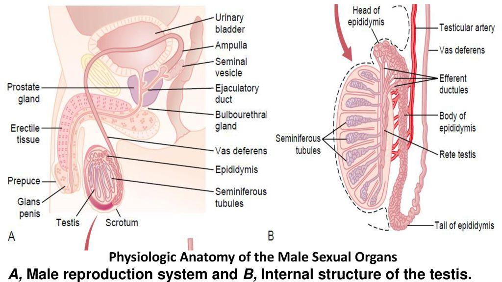 Physiology Of Male And Female Reproduction Ppt Download
