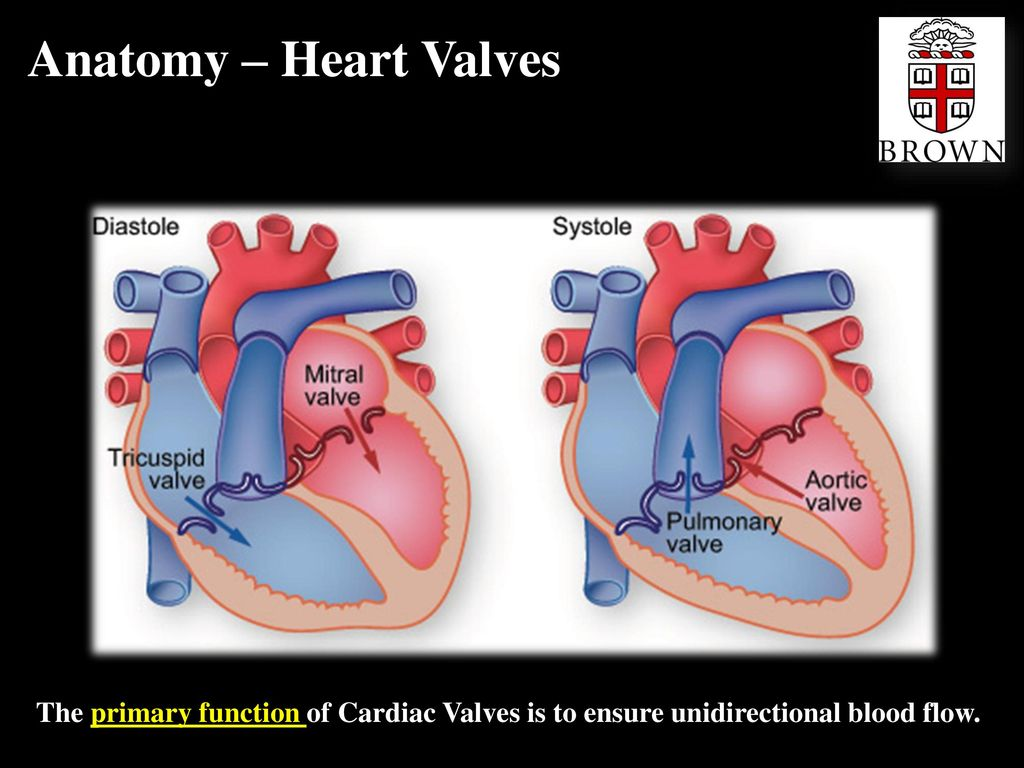 Cardiac Valves Jeffrey R Scott Phd Ppt Download