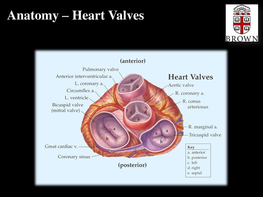 Cardiac Valves Jeffrey R. Scott, Ph.D.. - ppt download