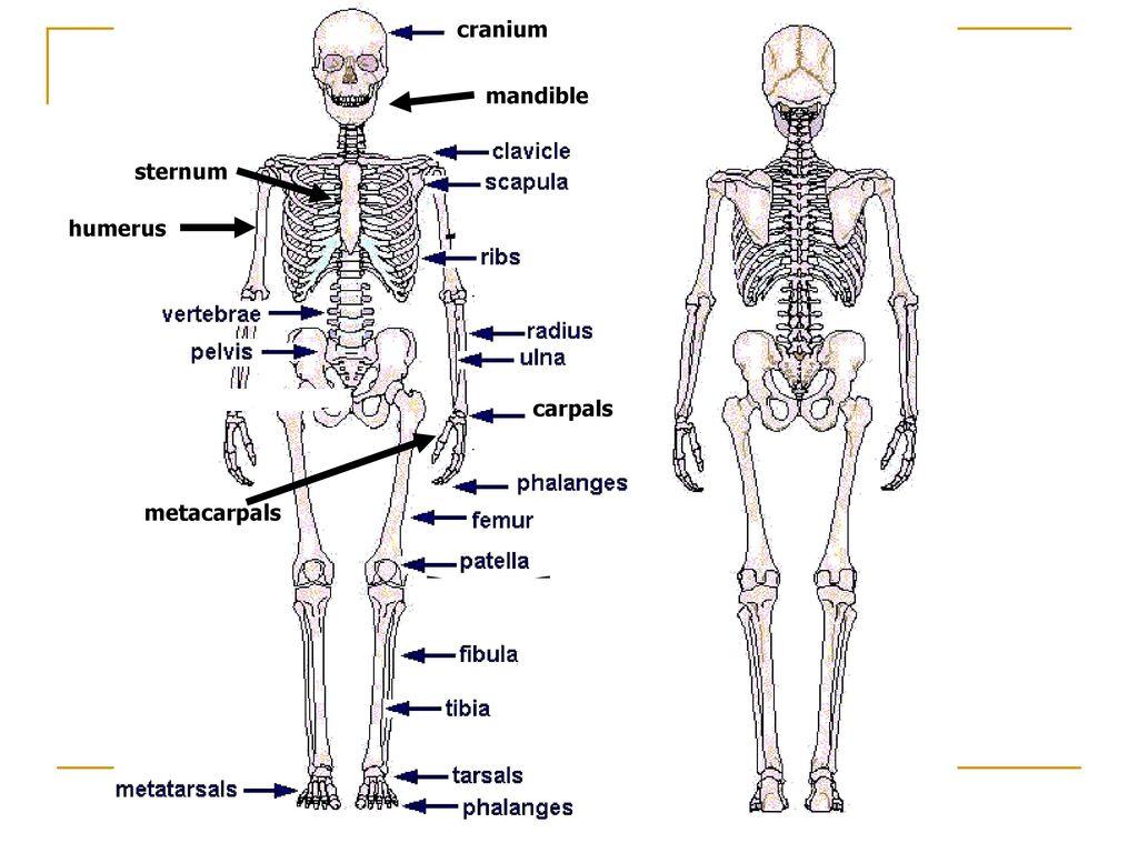 Skeletal System Chapter ppt download