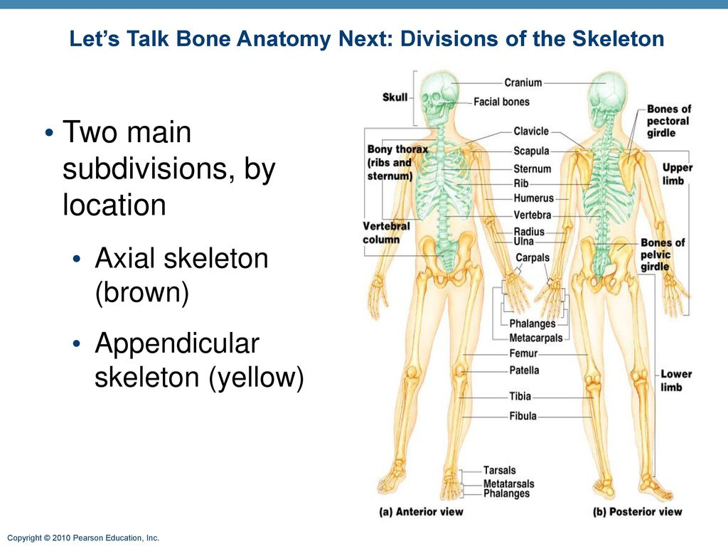 Let\'s Talk Bone Anatomy Next: Divisions of the Skeleton - ppt download