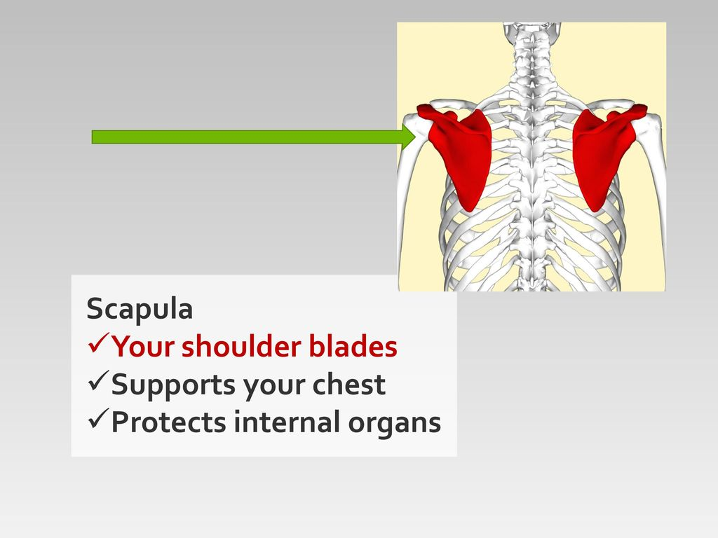 Lots of bones ppt download 5 scapula your shoulder blades supports your chest protects internal organs ccuart Choice Image