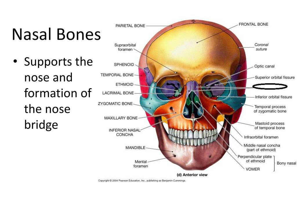 The Skull Facial Cranial Mandible Maxillae 2 Frontal Bone Ppt