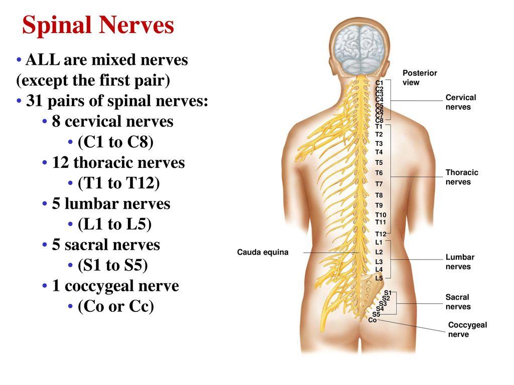 THE NERVOUS SYSTEM Dr. Nabil Khouri. - ppt download