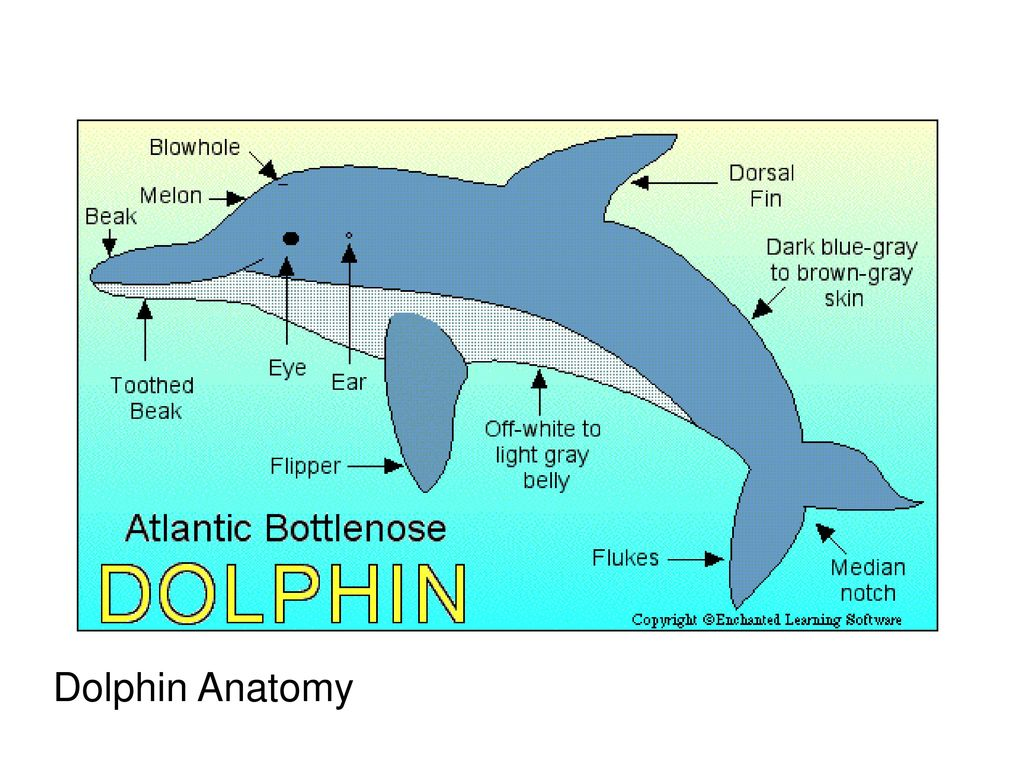 Fine Male Dolphin Anatomy Image - Physiology Of Human Body Images ...