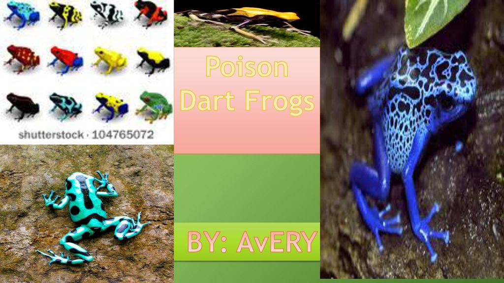 Poison Dart Frogs BY: AvERY. - ppt download