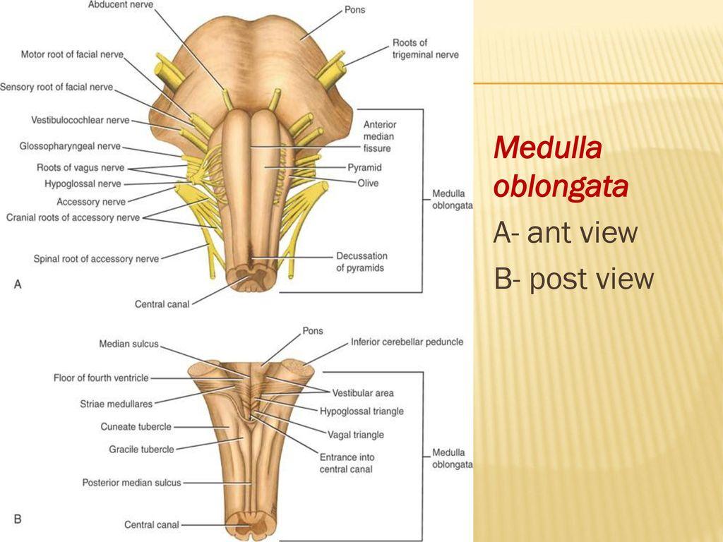The Brainstem Medulla Oblongata Pons And Midbrain Ppt Download