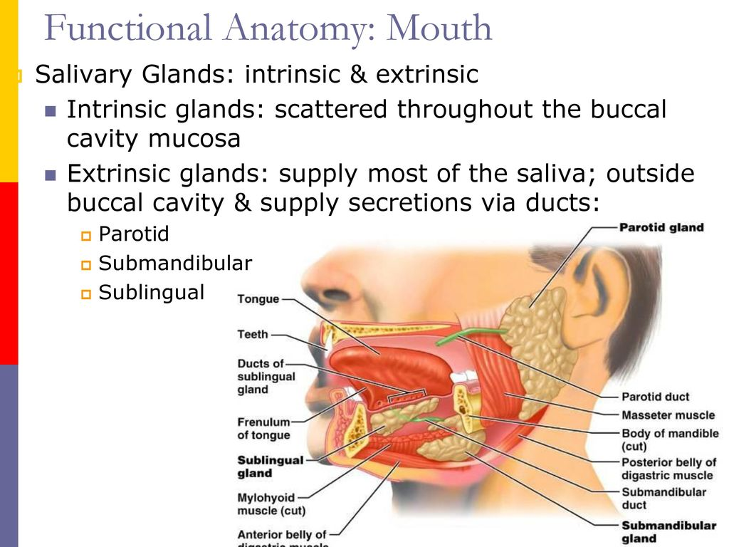 Buccal Mucosa Anatomy Topsimages