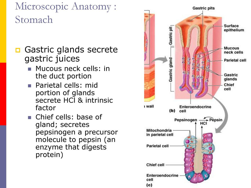 Gastrointestinal System - ppt download
