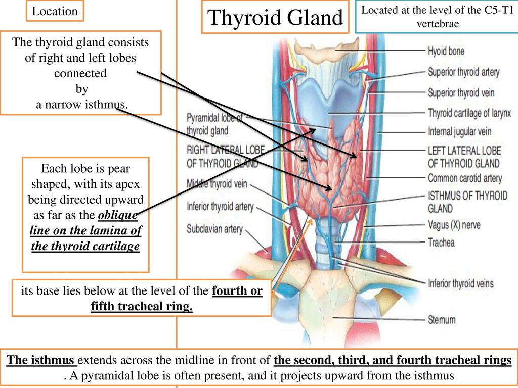 Thyroid gland Gross anatomy. - ppt download