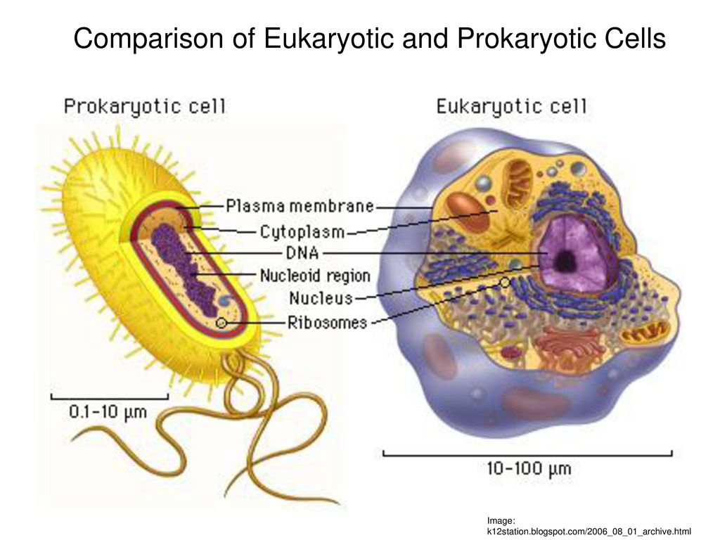 Lecture 5 Eukaryotes Cell Diagram College Of Dupage Ppt Download Eukaryotic Labelled Prokaryotic And Cells Comparison