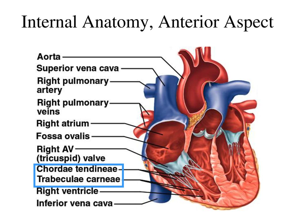 The Heart Circulatory System Cardiovascular System Ppt Download