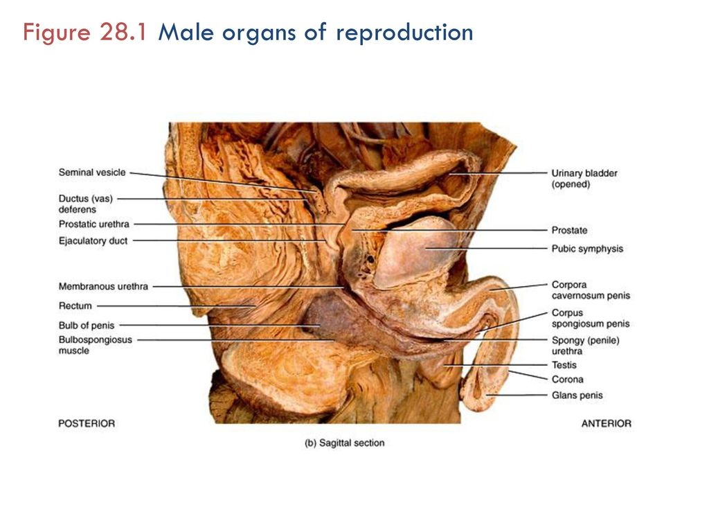 Unit 6 Reproduction and Development Part 1 The Reproductive Systems ...