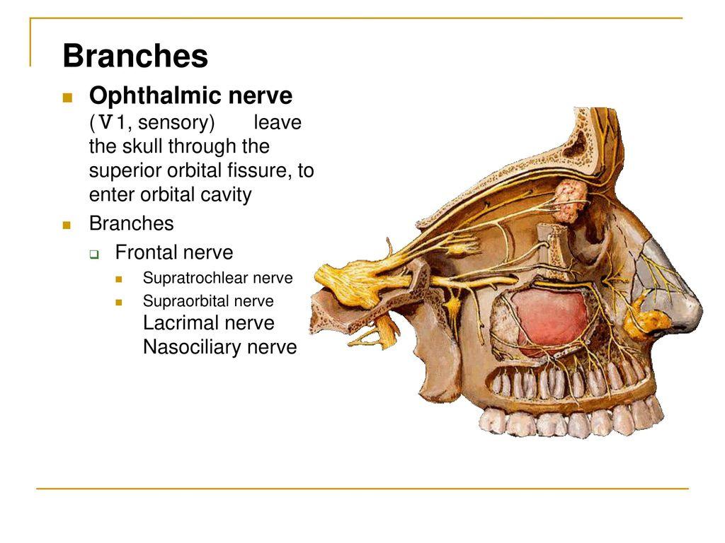Cranial Nerves Dr.Haythem Ali Alsayigh - ppt download