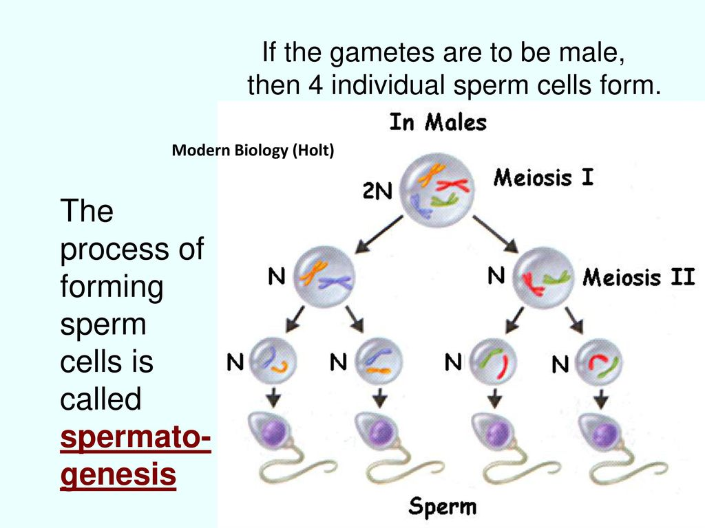 Can recommend process of forming sperm cells