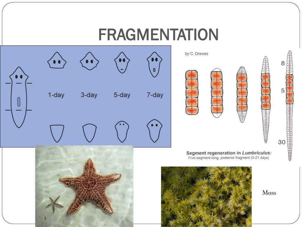 Fragmentation asexual reproduction video clips