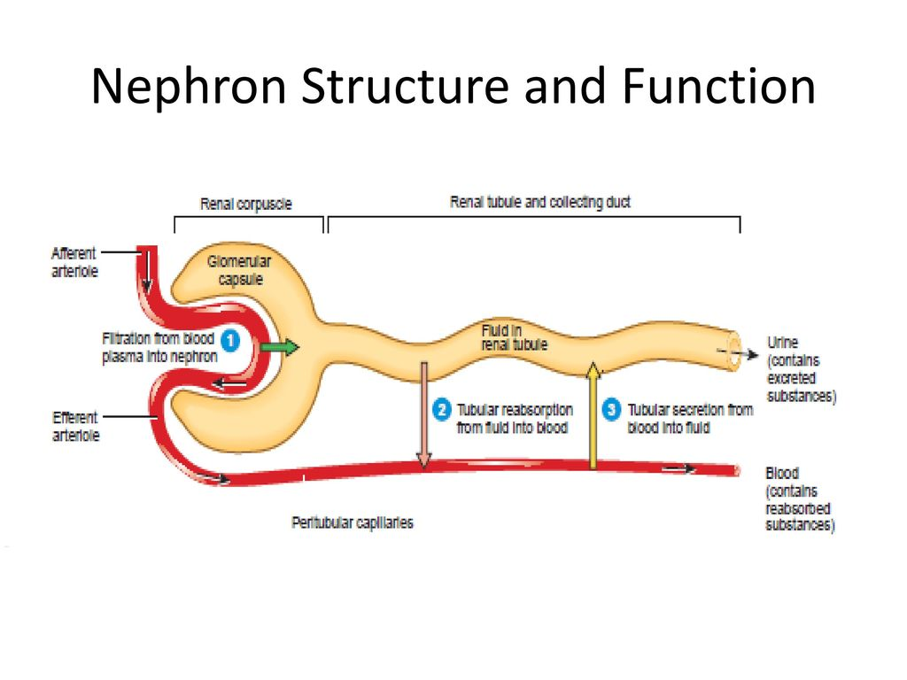 nephron structure and function pdf