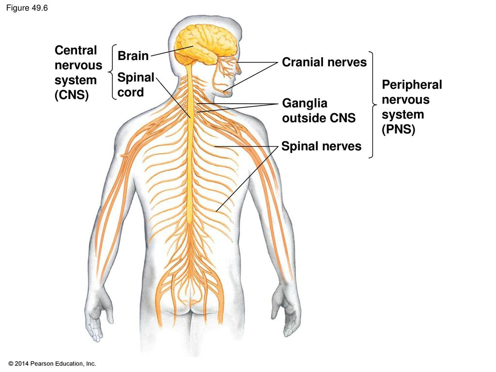 Ch. 49: Nervous Systems. - ppt download