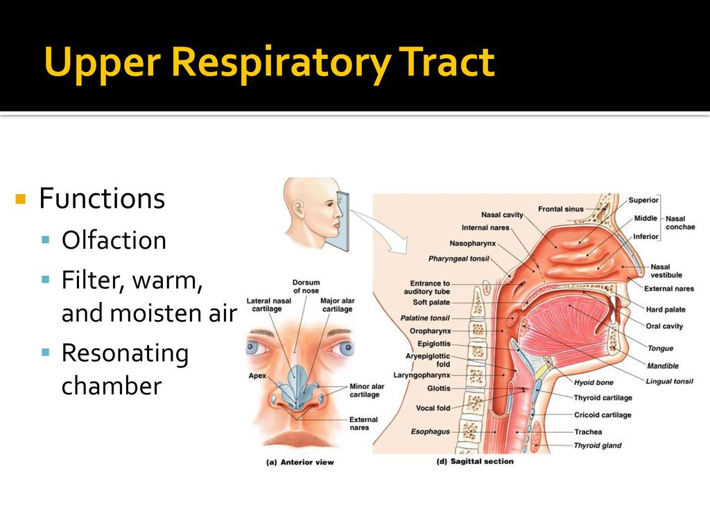 Human Respiratory System - ppt download