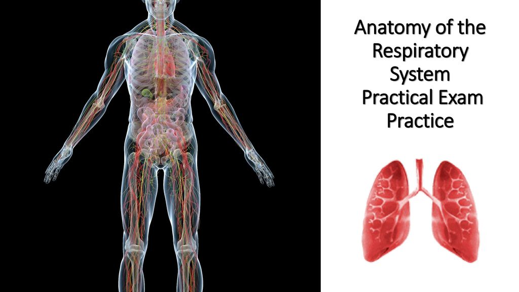 Anatomy of the Respiratory System Practical Exam Practice - ppt download
