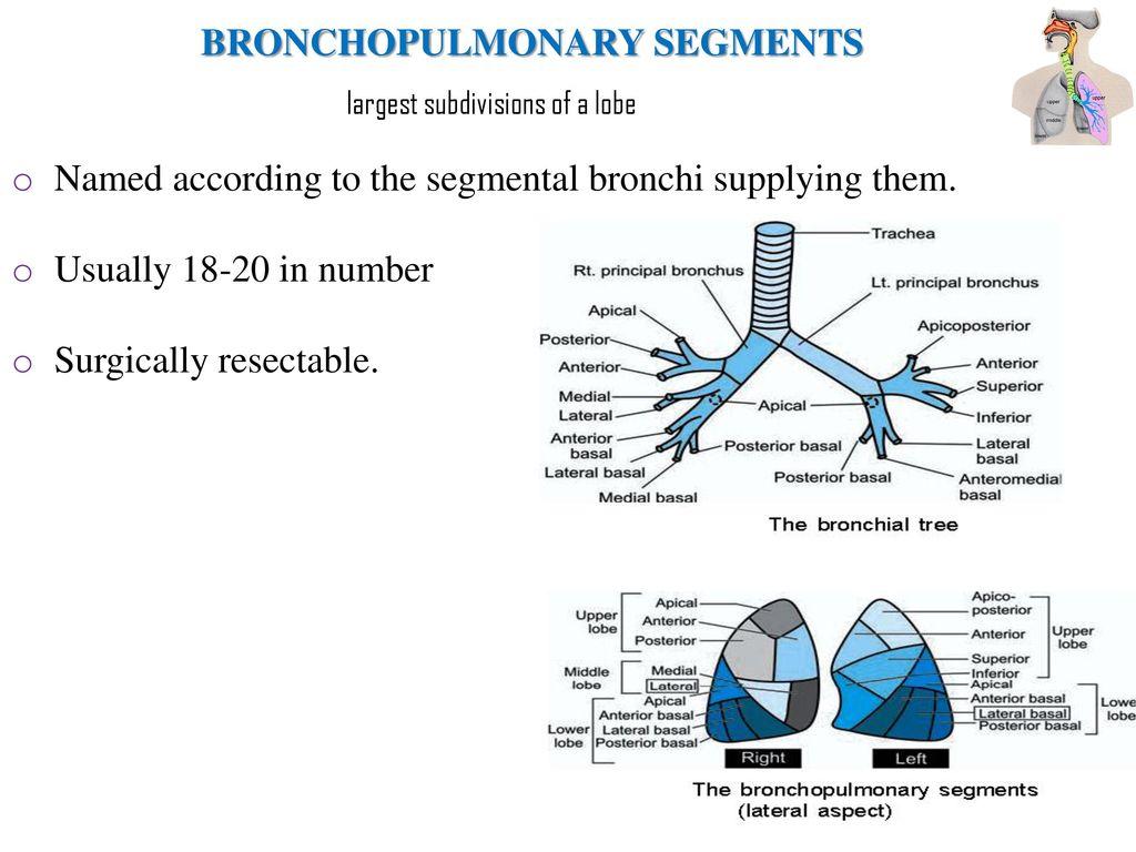 Segmental Bronchi Anatomy Gallery - human body anatomy