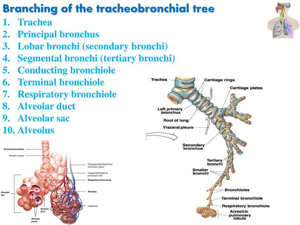 Lung Bronchial Anatomy Gallery - human body anatomy