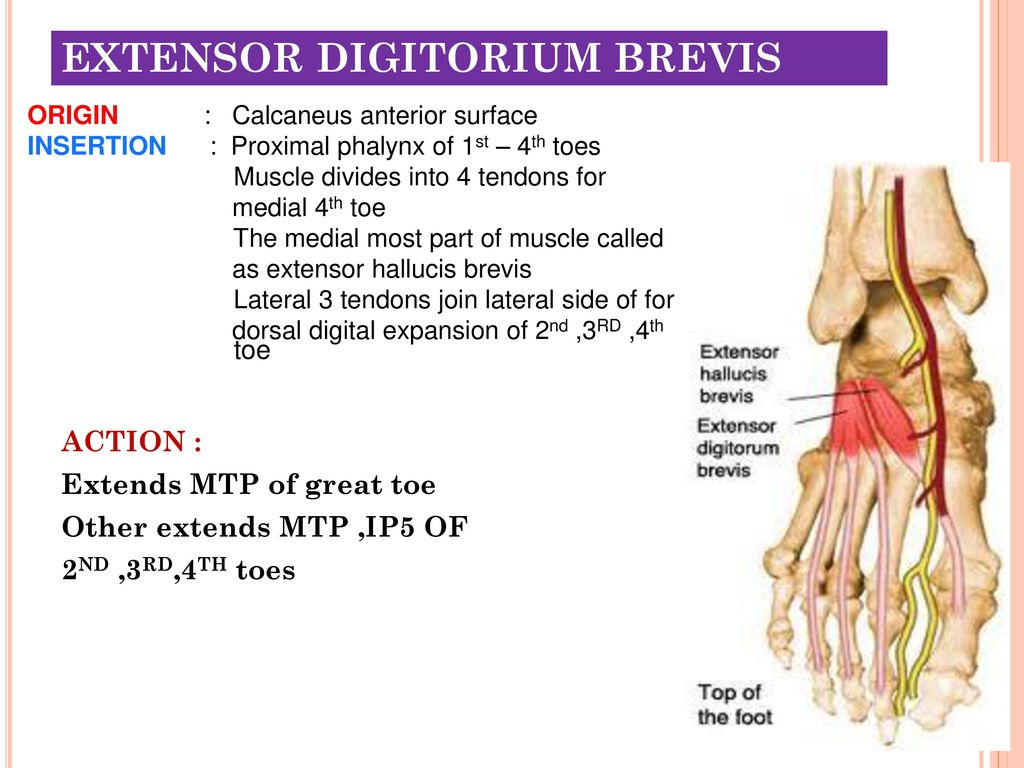 Muscles of the Lower Limbs - ppt download