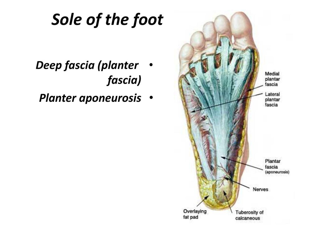 sole of the foot deep fascia planter fascia planter aponeurosis