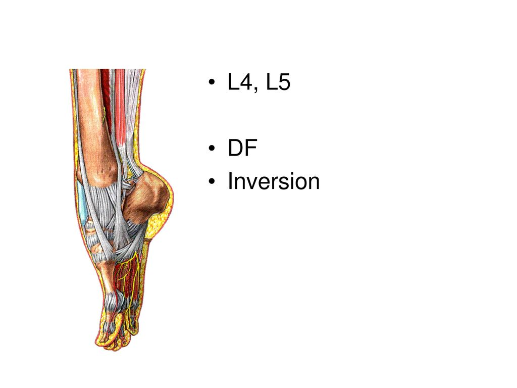 Muscles of the Leg. - ppt download