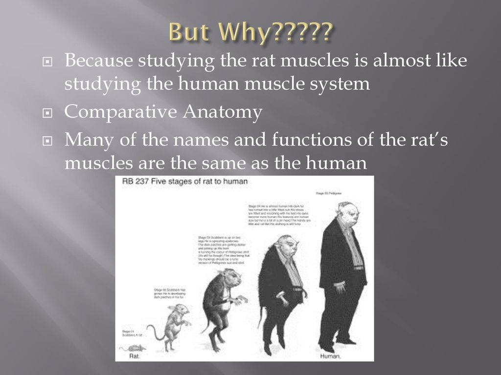 But Why????? Because studying the rat muscles is almost like ...