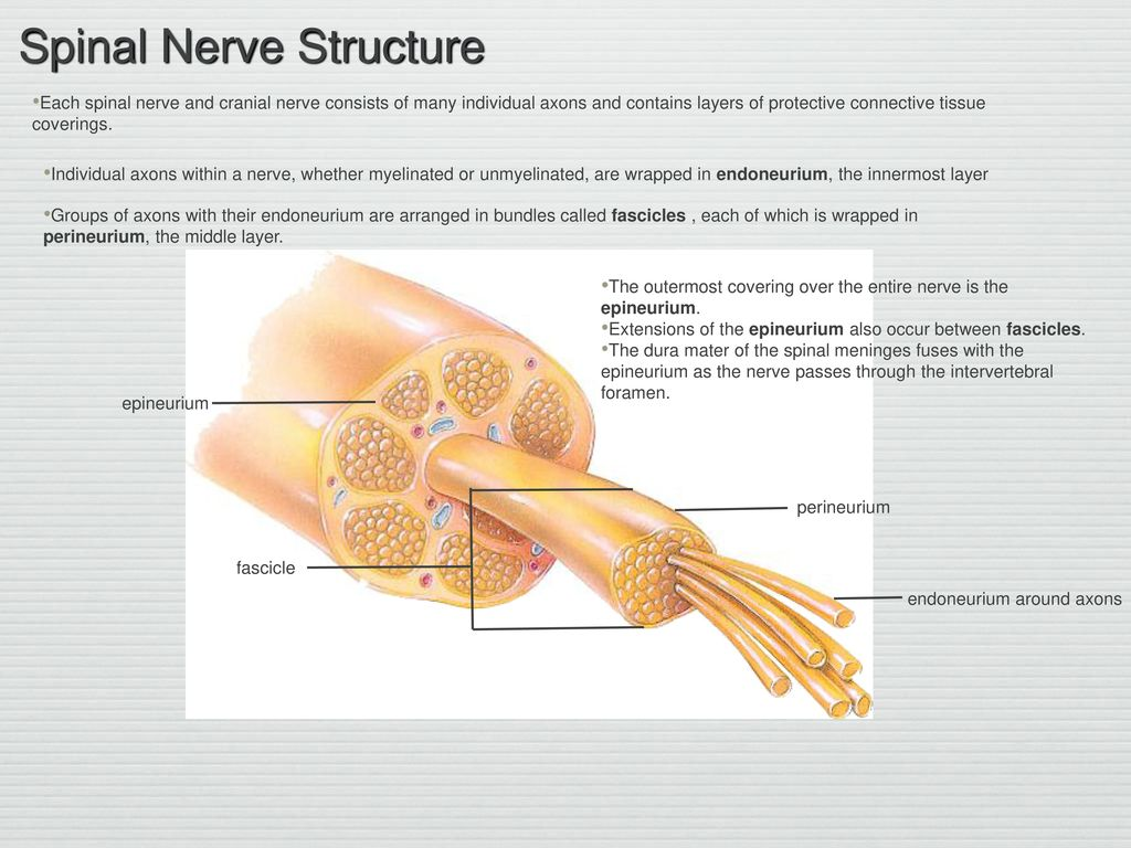 the outermost connective tissue covering of nerves is the
