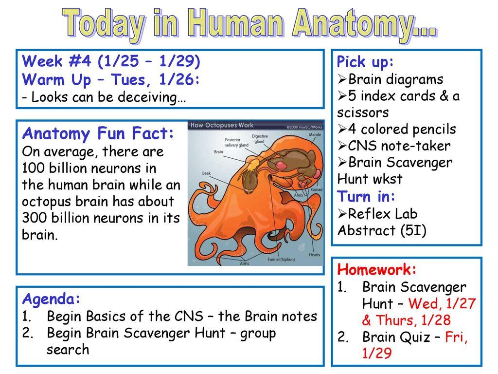 Today In Human Anatomy Anatomy Fun Fact Week 4 125 129