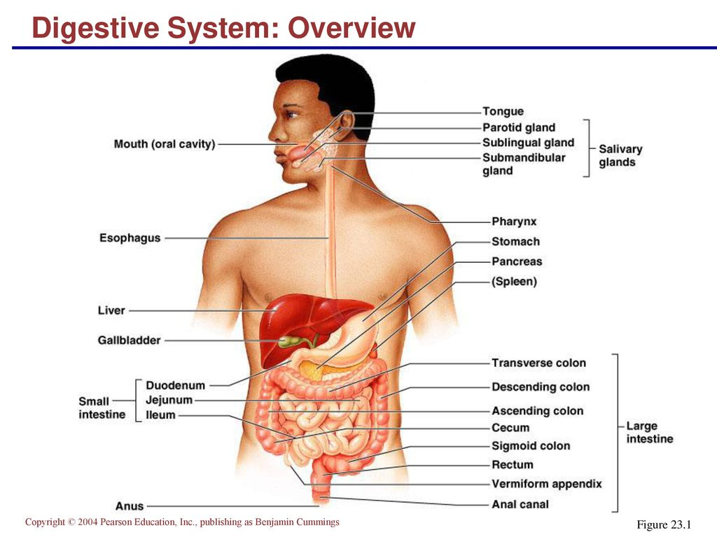 The Digestive System Part A - ppt download