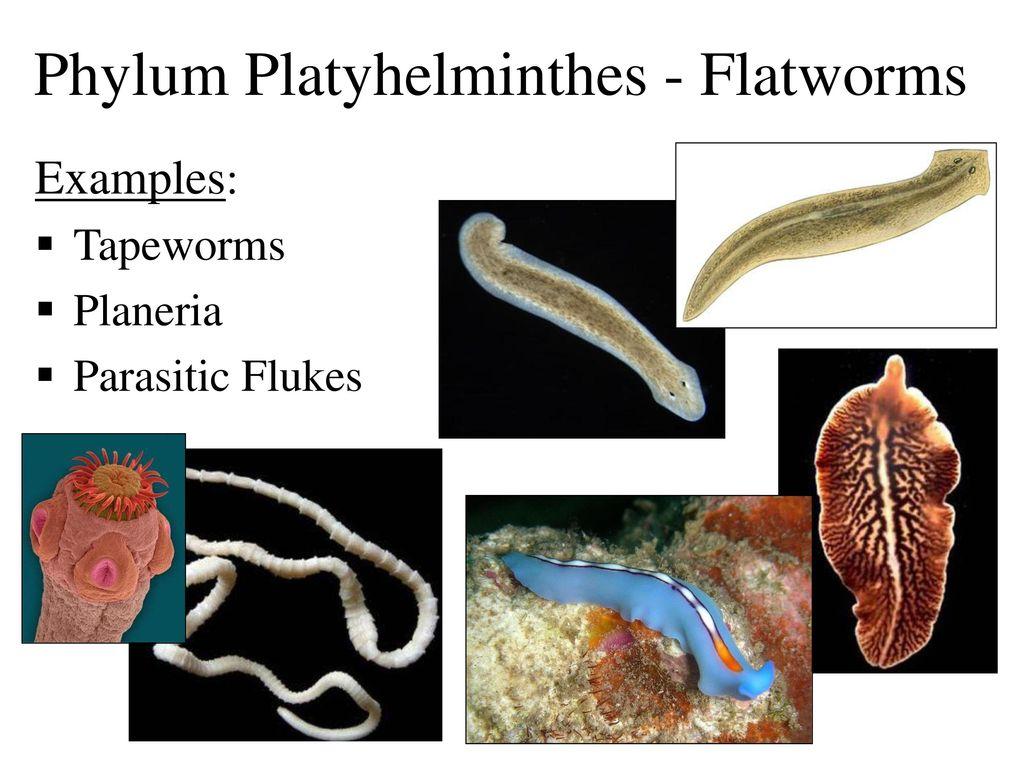 exemple de platyhelminthes phylum