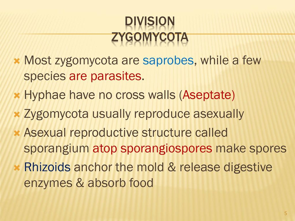 Zygomycota asexual reproduction budding