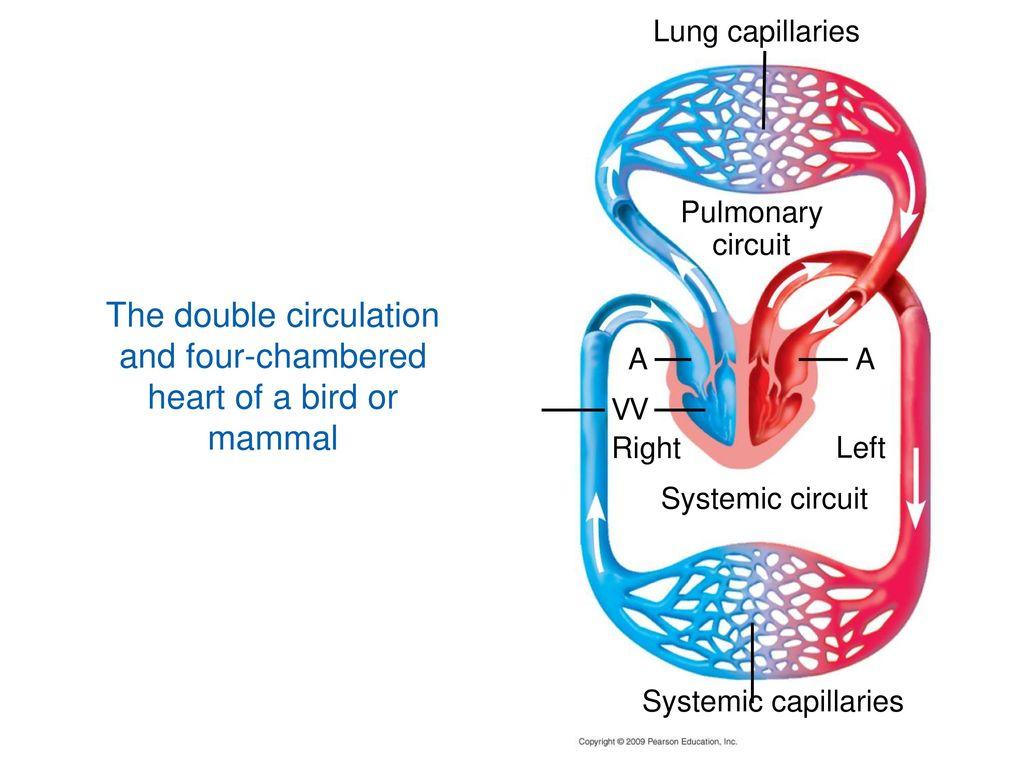 Chapter 23 Circulation Lecture By Richard L Myers Ppt Download Bird Heart Diagram The Double And Four Chambered Of A Or Mammal
