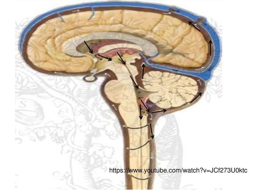 Meninges & CSF and Ventricular system - ppt download