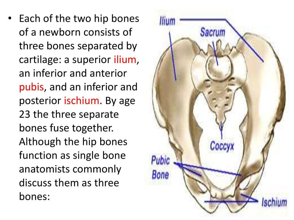 The Pelvic girdle, Floor and Cavity Dr. Rana Al-tae - ppt download