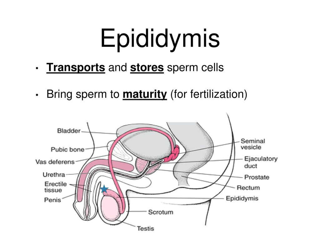 Reproductive System Male And Female Ppt Download