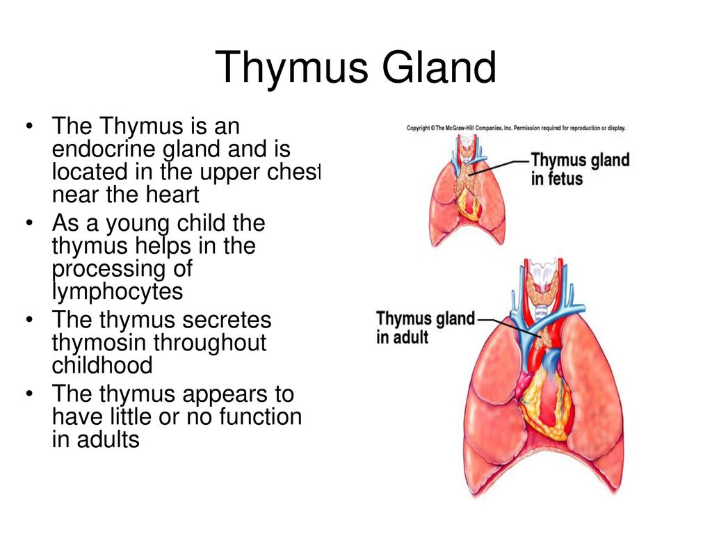 Thymus Gland Function Diagram Wiring Diagram Services